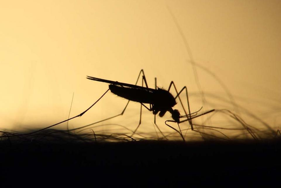 mosquito in silhouette feeding on arm